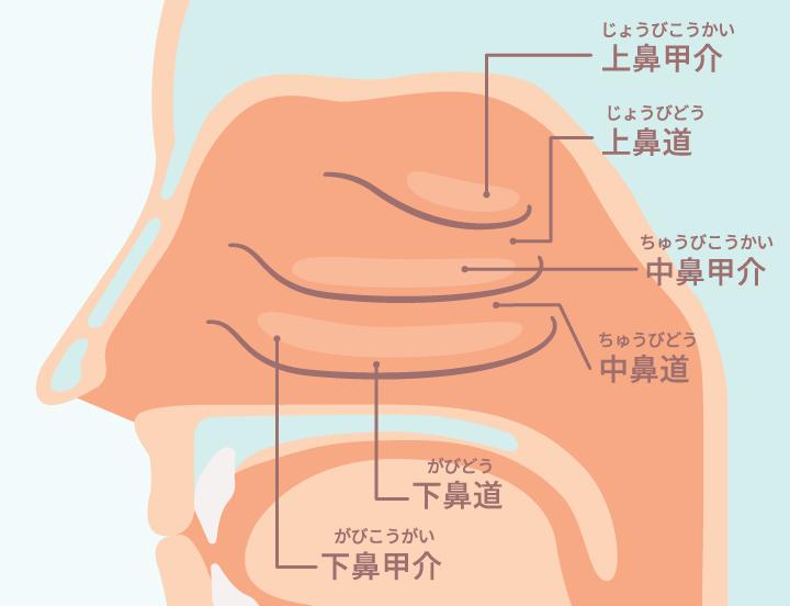 鼻は嗅覚だけでなく、空気の通り道という働きがあります。