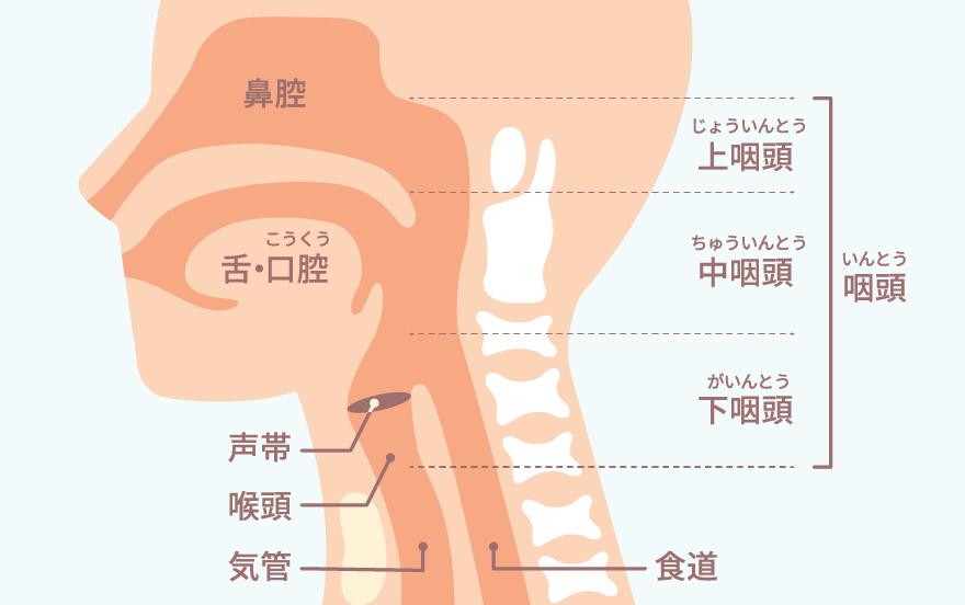 """耳鼻咽喉科の""""のど""""は、首や舌も診療範囲です。"""